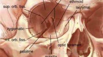 Palatin Kemik (Damak Kemiği)