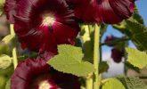 Hatmi (Althea officinalis)