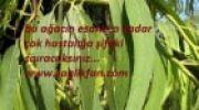 Sulfata Ağacı (Esansının)Faydaları