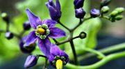 Yaban Yasemini (Solanum Dulmacara)