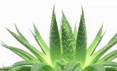 Aloe Vera Bitkisini Tanıyalım