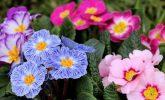 Çuha Çiçeği: Uykusuzluğu Tedavi Edebilir