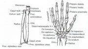 El Parmağı Kemikleri (ossa digitorum manus)