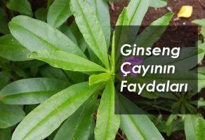 Ginseng Çayının Faydaları Nelerdir, Nasıl Hazırlanır, Tarifi