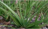 Aloe vera diyabette nasıl faydalıdır?