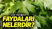 Çınar Yaprağı Faydaları Nelerdir?
