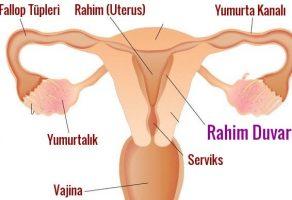 Rahim Duvarı (Endometrium) Kalınlığı Kaç Olmalı?